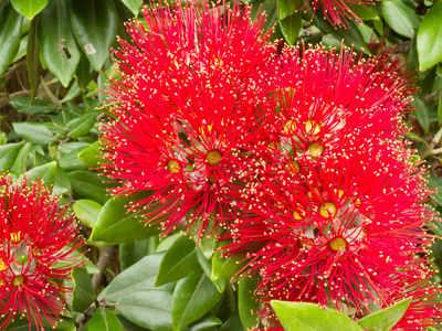 Myrte carlate plantation taille et entretien for Myrte arbuste
