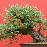 Zelkova bonsaï