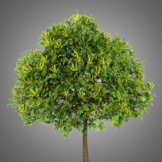 Savonnier plantation - Koelreuteria paniculata