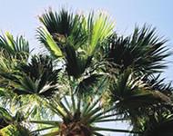 palmier phoenix qui jaunit arbres arbustes et rosiers forum du jardin et du jardinage. Black Bedroom Furniture Sets. Home Design Ideas