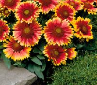 gaillardes fleurs