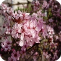 amandier de chine -prunus