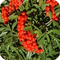 buisson ardent -pyracantha