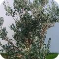 eleagnus1