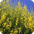 yellow spanish broom on blue sky