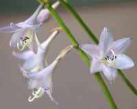hosta en fleur