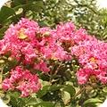 Les arbuste qui fleurissent en ete - Lilas des indes blanc ...