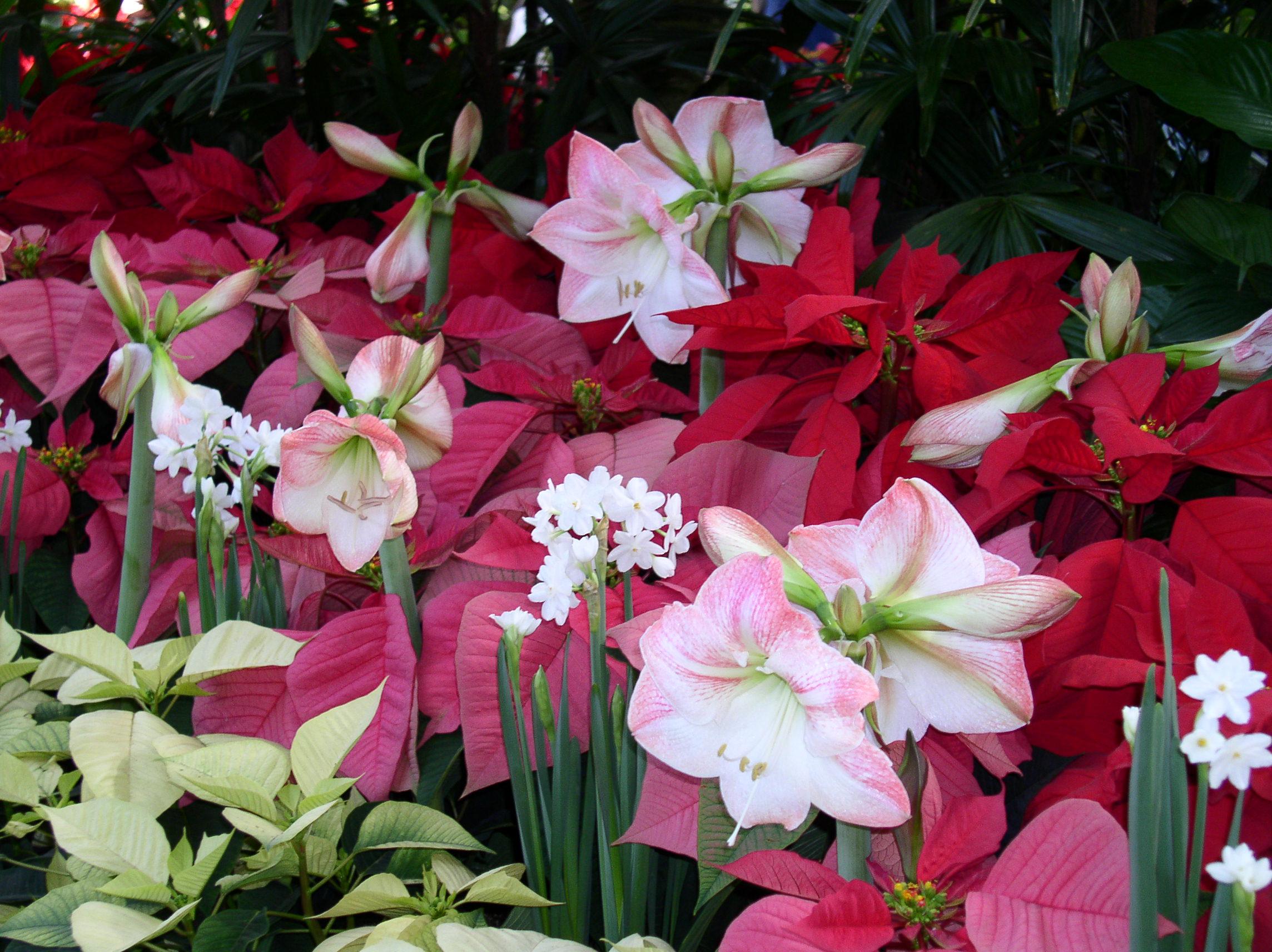 Amaryllis apr s la floraison plantes du jardin et de for Amaryllis fleurs cesson
