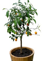 potted_orange_tree