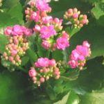 plante grasse fleur rose interieur