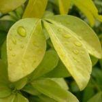 Oranger du mexique plantation taille et conseils d - Oranger du mexique feuilles jaunes ...