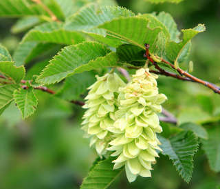 Hophornbeam, very ornamental