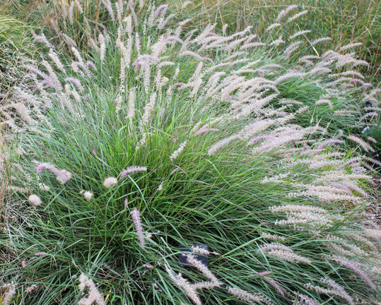 Pennisetum orientale