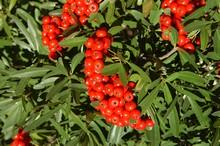 buisson ardent pyracantha