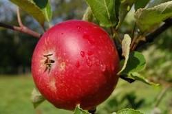 Pommier plantation taille et maladies des pommiers - L arbre le pommier ...