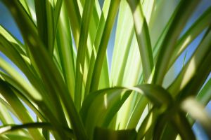 phalangere - chlorophytum comosum