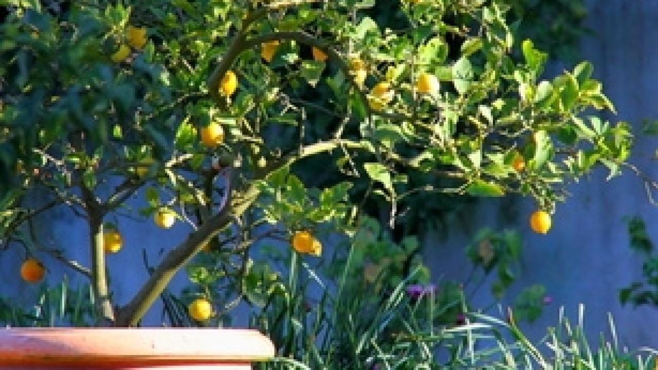 Comment Cultiver Un Citronnier En Pot citronnier en pot : entretien, taille, rempotage