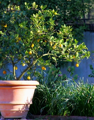 Potted lemon tree, very convenient!