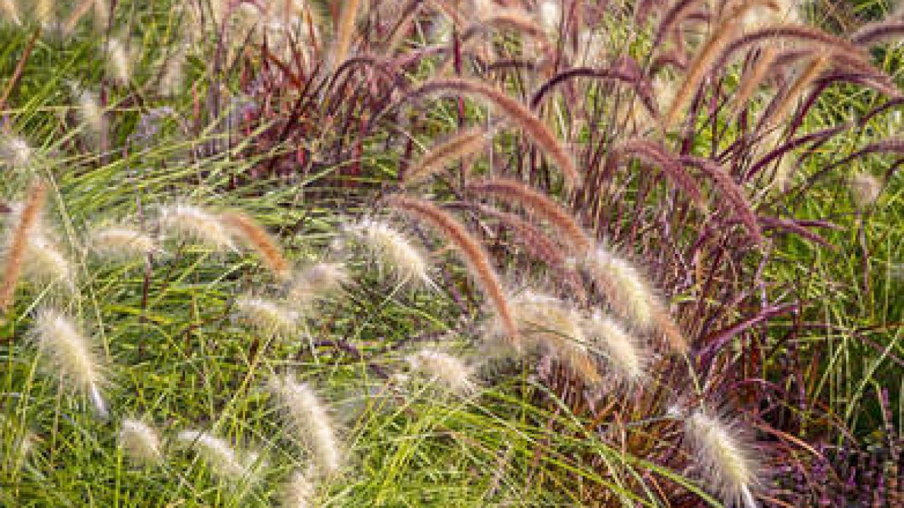 Les Plus Belles Graminées graminées : plantes tendances pour jardin naturel et sauvage
