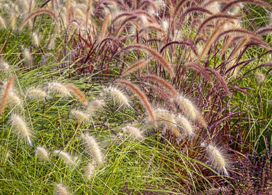 Grasses, trendy with a designer touch