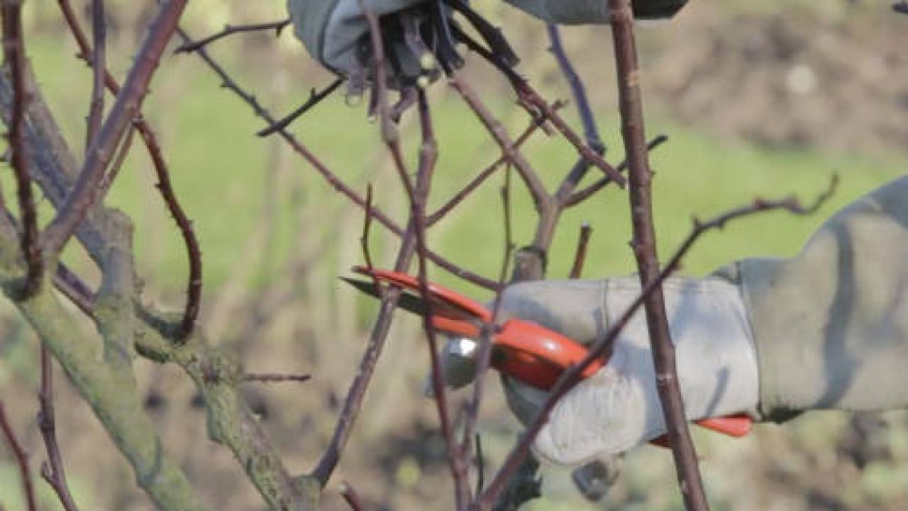 Quand Et Comment Tailler Un Rosier taille du rosier buisson arbustif : technique et période