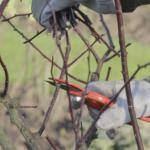 Taille des rosiers technique et p riode conseils en vid o - Taille rosier buisson ...