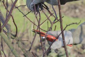 taille rosier buisson arbustif