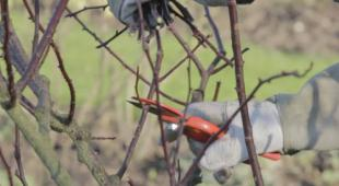 Taille des buis en haie en pot p riode et technique - Taille des rosiers periode ...