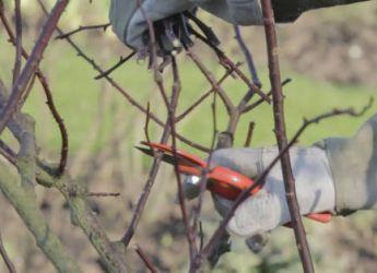 Taille du rosier buisson arbustif technique et p riode - Taille des rosiers buisson ...