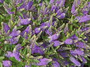 planter une veronique arbustive