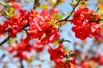 Maule's quince, flower-bearing and fragrant