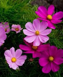 Cosmos semis et entretien des fleurs - Pensee fleur vivace ou annuelle ...