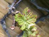 erinose vigne
