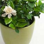 Gardenia (Gardenia jasminoides) in Flower Pot