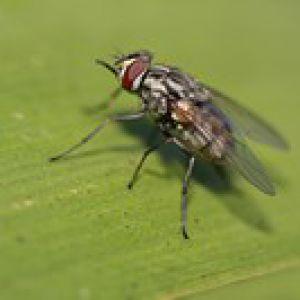 Comment tuer les moucherons comment tuer fungus moucherons sur les fraises faire partir les - Comment tuer des mouches ...