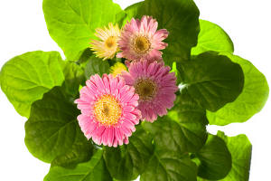 Gerbera, a colorful perennial