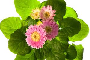 Gerbera entretien arrosage maladies rempotage for Fushia plante interieur ou exterieur