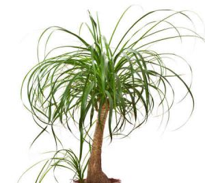 Beaucarnea tous les conseils d 39 entretien - Plante verte appelee pied d elephant ...