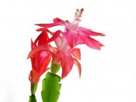 schlumbergera cactus de no l conseils d 39 entretien. Black Bedroom Furniture Sets. Home Design Ideas