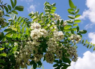 Robinier - Robinia pseudoacacia