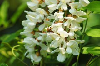 Robinier - faux acacia - fleur