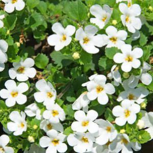 bacopa advice on growing and caring for it from planting. Black Bedroom Furniture Sets. Home Design Ideas