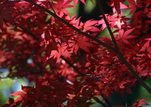 Erable japonais - Acer palmatum