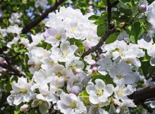 Pommier a fleurs ornement