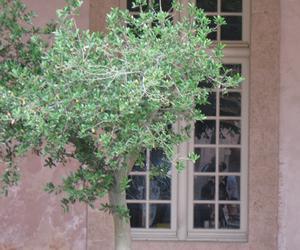 olivier en pot entretien taille rempotage