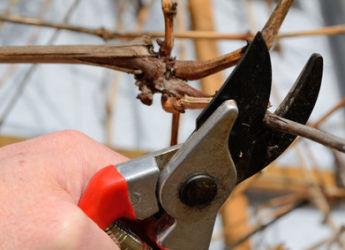taille vigne