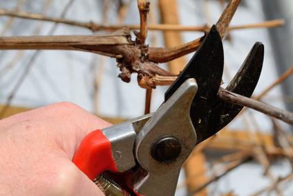 Taille de la vigne tout savoir - Quand tailler une vigne ...