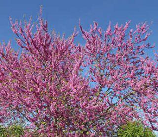 arbre de judee en fleur