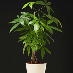 Pachira entretien arrosage maladies for Arrosage plante interieur