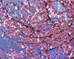 cerisier fleurs conseils de plantation taille et entretien. Black Bedroom Furniture Sets. Home Design Ideas